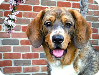 Basset Hound/Shepherd (Unknown Type) Mix Dog for adoption in Cincinnati, Ohio - Rudy