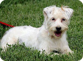 Maltese/Yorkie, Yorkshire Terrier Mix Dog for adoption in Portland, Maine - Khloe