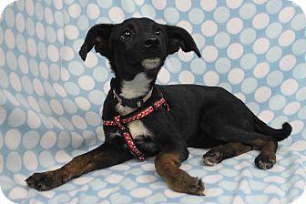 Labrador Retriever Mix Puppy for adoption in Westminster, Colorado - Ellison