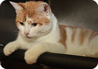 Domestic Shorthair Cat for adoption in Marietta, Ohio - Fangtasia (Spayed)