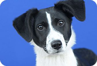 Border Collie Mix Dog for adoption in LAFAYETTE, Louisiana - BRIE