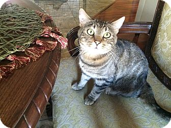 Domestic Shorthair Cat for adoption in Las Vegas, Nevada - Sonny