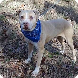 American Staffordshire Terrier Mix Dog for adoption in Darlington, South Carolina - Elroy