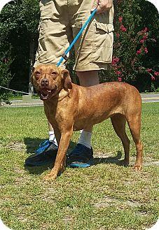 Labrador Retriever/Plott Hound Mix Dog for adoption in Carthage, North Carolina - Carly