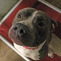 American Bulldog Mix Dog for adoption in Fort Madison, Iowa - Smoke