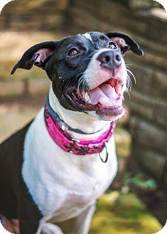 Labrador Retriever/Pointer Mix Dog for adoption in Atlanta, Georgia - Cady