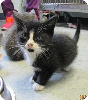 Domestic Mediumhair Kitten for adoption in Warrenton, North Carolina - Billy