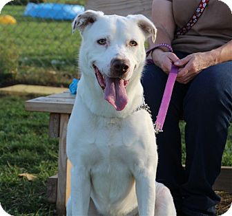 Labrador Retriever/American Bulldog Mix Dog for adoption in Elyria, Ohio - Spike