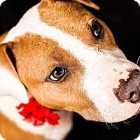 Adopt A Pet :: Sasha Bryn - Greensboro, NC