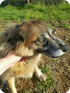 Shepherd (Unknown Type)/Collie Mix Dog for adoption in Goodlettsville, Tennessee - Marnie