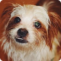 Adopt A Pet :: Lil Bo Peep - Fort Lauderdale, FL