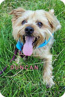 Yorkie, Yorkshire Terrier Dog for adoption in Ventura, California - Duncan