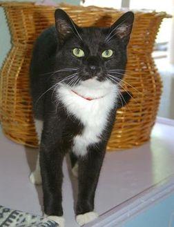 Domestic Shorthair/Domestic Shorthair Mix Cat for adoption in Englewood, Florida - Dana