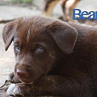 Adopt A Pet :: Bear - oklahoma city, OK