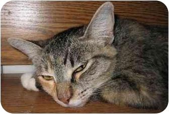 Domestic Shorthair Cat for adoption in Davis, California - Candi