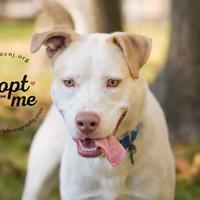 Adopt A Pet :: Blu - Lindenwold, NJ