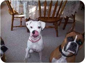 Boxer Dog for adoption in Dayton, Ohio - Blanca