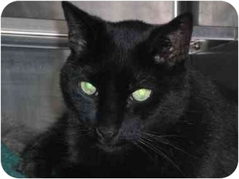 Domestic Shorthair Cat for adoption in Lombard, Illinois - James Bond
