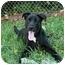Photo 3 - Labrador Retriever Mix Dog for adoption in Saint Charles, Missouri - Zachary--URGENT!