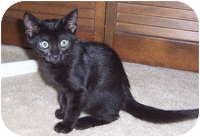 Domestic Shorthair Kitten for adoption in Tampa, Florida - Mario