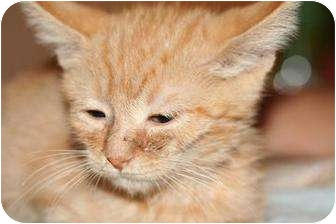 Domestic Longhair Kitten for adoption in Tucson, Arizona - Butters