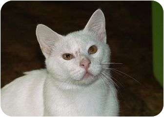 Domestic Shorthair Cat for adoption in Englewood, Florida - Achilles