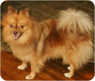 Pomeranian Dog for adoption in Sherman Oaks, California - Goldie Hawn