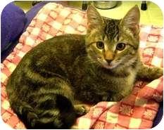 Domestic Shorthair Cat for adoption in Shelton, Washington - Johnny