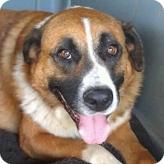 St. Bernard/Labrador Retriever Mix Dog for adoption in Weatherford, Texas - Bernie Mac