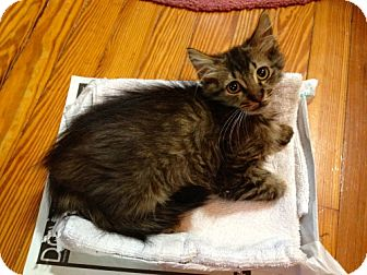 Maine Coon Kitten for adoption in Trenton, New Jersey - Rocky (in foster)