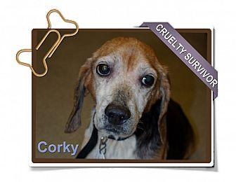 Beagle Dog for adoption in Portland, Oregon - Corky