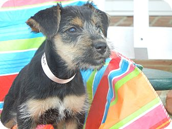 Schnauzer (Miniature)/Terrier (Unknown Type, Small) Mix Puppy for adoption in Crystal River, Florida - Chloe