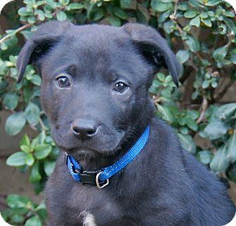 Labrador Retriever/German Shepherd Dog Mix Puppy for adoption in Thousand Oaks, California - Ranger