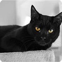 Domestic Shorthair Cat for adoption in Carlisle, Pennsylvania - Makani