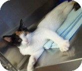 Calico Cat for adoption in Silver City, New Mexico - Misty Lou