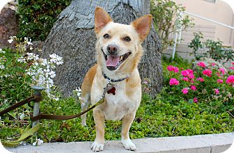 Welsh Corgi/Chihuahua Mix Dog for adoption in Los Angeles, California - Roger that!