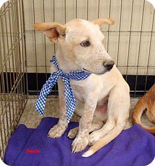 Australian Cattle Dog/Labrador Retriever Mix Puppy for adoption in Las Vegas, Nevada - Dante