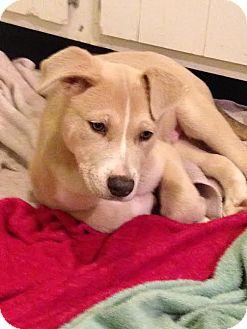 Anatolian Shepherd/Labrador Retriever Mix Puppy for adoption in waterbury, Connecticut - Harvey