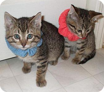 Domestic Shorthair Kitten for adoption in Lenexa, Kansas - Togo