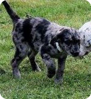 Australian Shepherd/Labrador Retriever Mix Puppy for adoption in Williston, Vermont - Jennie