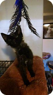 LaPerm Kitten for adoption in Walla Walla, Washington - Stardust
