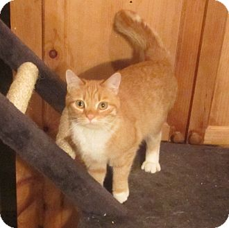 Domestic Shorthair Cat for adoption in Pottstown, Pennsylvania - Pammie