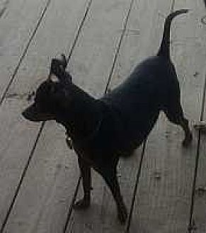 Miniature Pinscher Mix Dog for adoption in Columbus, Ohio - Rusty