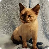 Adopt A Pet :: Violet - Bentonville, AR