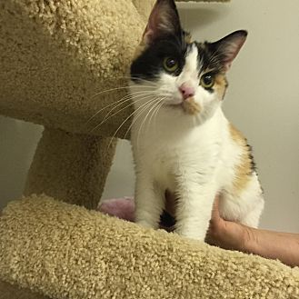 Calico Cat for adoption in Owenboro, Kentucky - SWEETPEA
