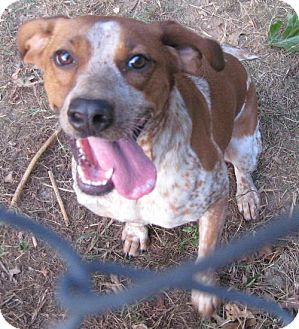 Beagle/Hound (Unknown Type) Mix Dog for adoption in Tahlequah, Oklahoma - Sarah