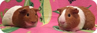 Guinea Pig for adoption in Highland, Indiana - Bellsprout