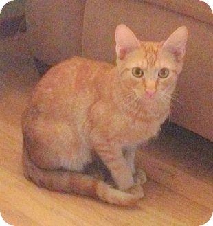 Domestic Shorthair Cat for adoption in San Leandro, California - Pumpkin