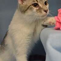 Domestic Shorthair Cat for adoption in Morgantown, West Virginia - Nemo