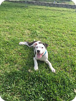 American Bulldog Mix Puppy for adoption in Glastonbury, Connecticut - Buster